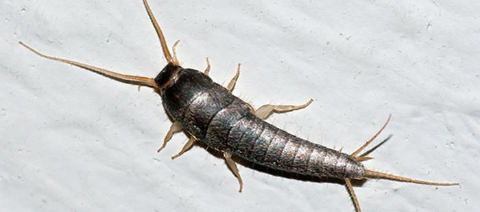 Gümüş Böceği Nasıl İlaçlanır?